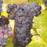 Cynthiana Wine Grape